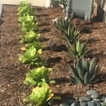 New Model Build succulent landscaping
